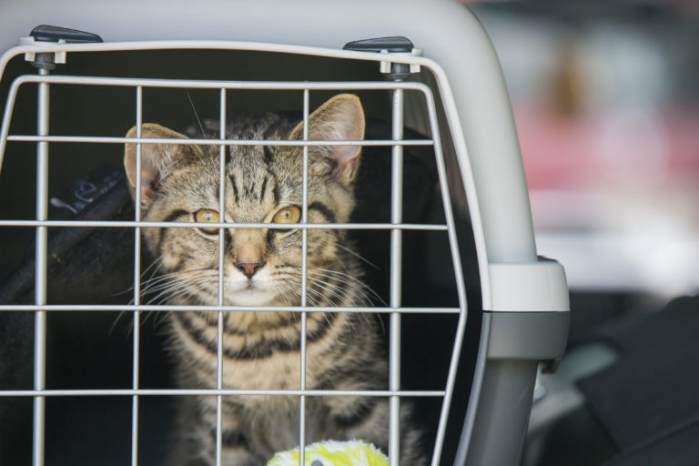 Mit der Katze Auto fahren