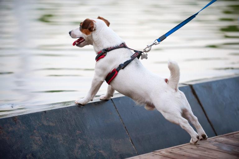 Chien appuyé sur un rebord devant un cour d'eau retenu par sa laisse et son harnais