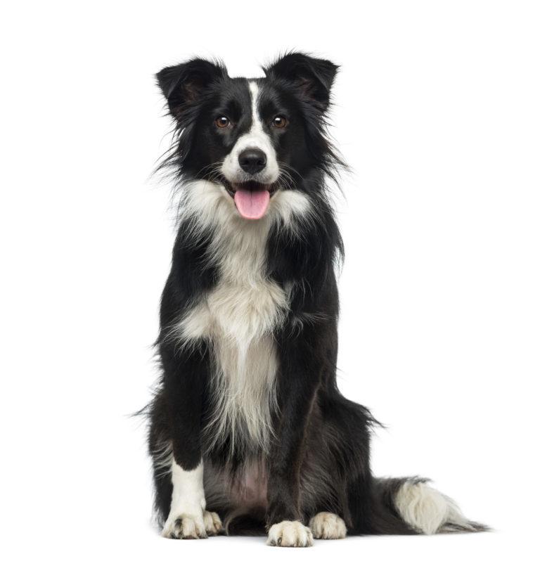 Pies rasy Border Collie