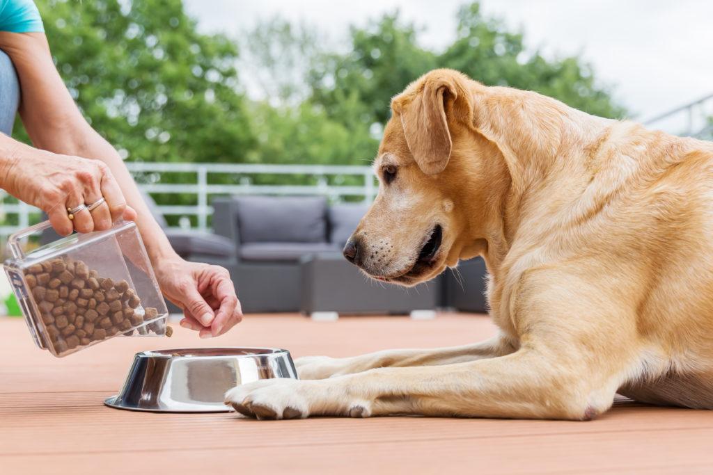 Labrador en train de se faire servir ses croquettes