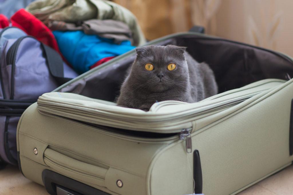 Chat gris aux yeux jaunes assis dans une valise