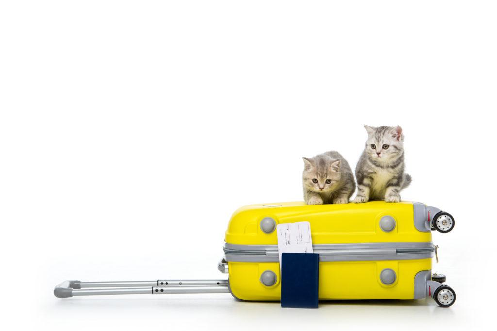Deux chatons gris assis sur une valise jaune