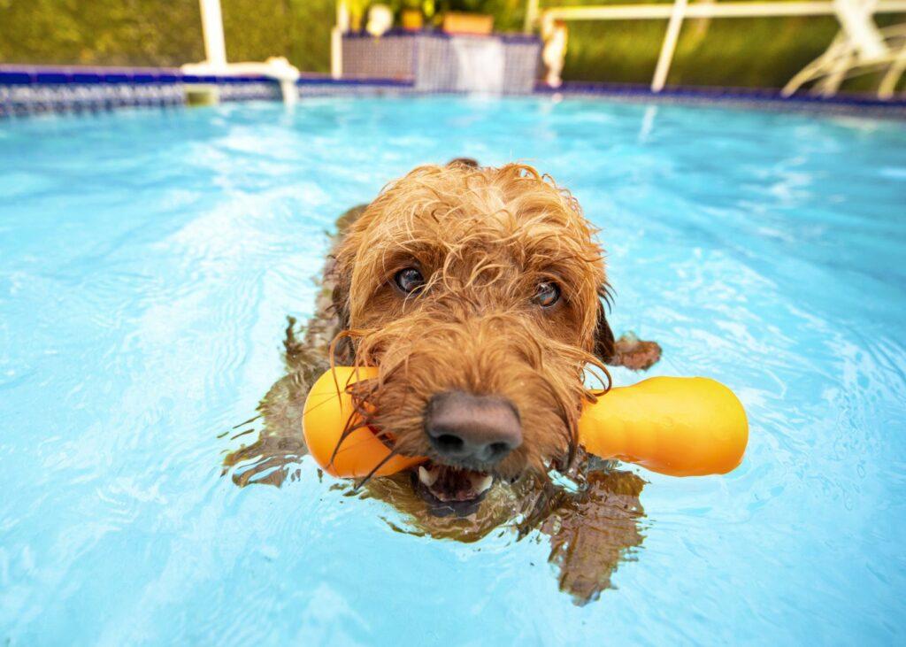 Goldendoodle Hund schwimmt im Pool mit Spielzeug