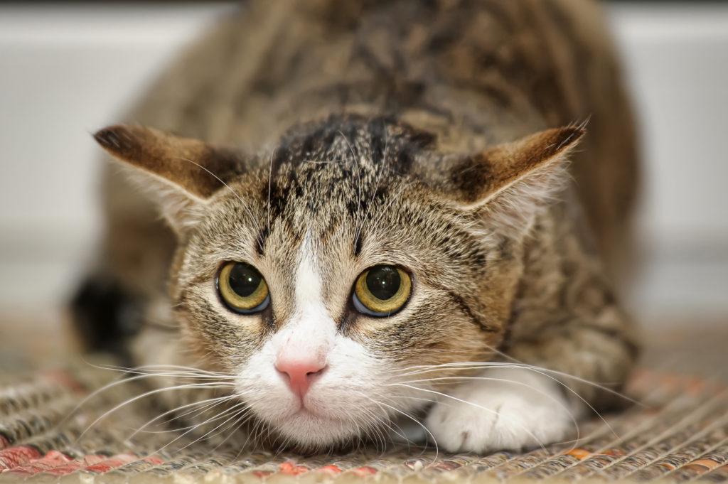 Katze mit angelegten Ohren