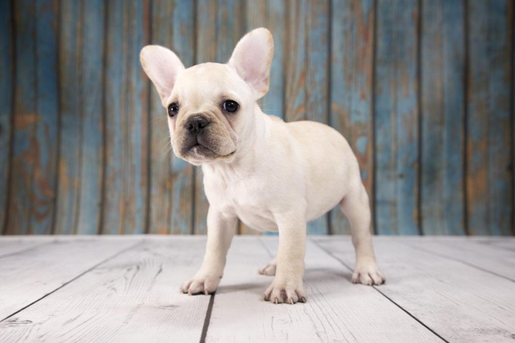 Franzosische Bulldogge