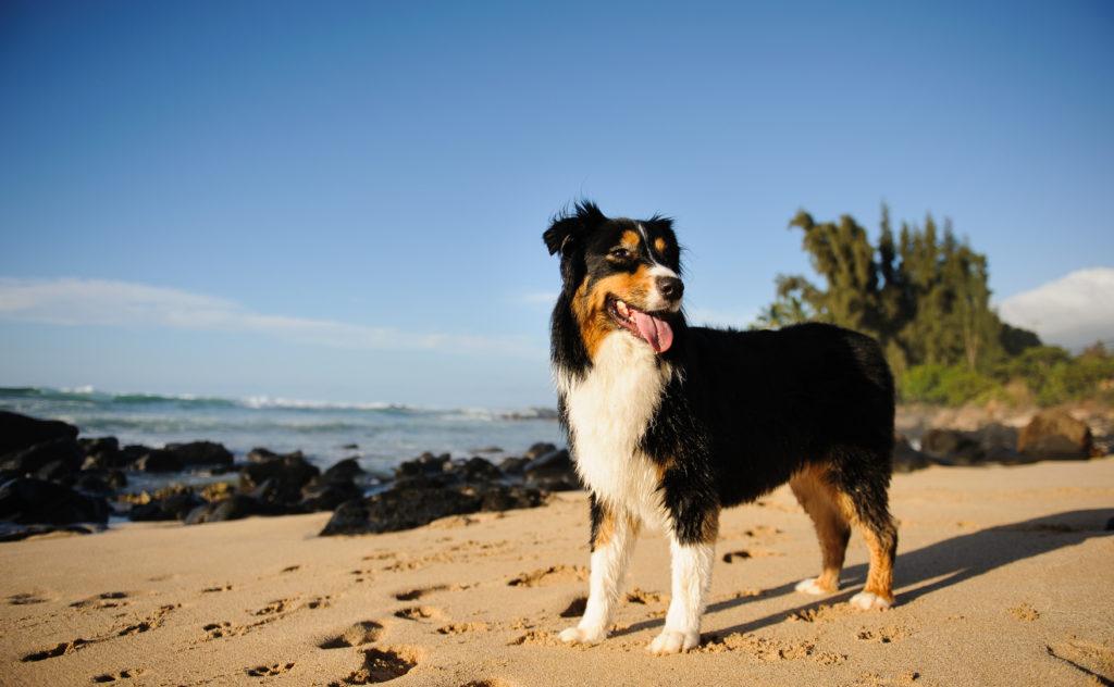 Australian Shepherd Hunderassen Zooplus Ch