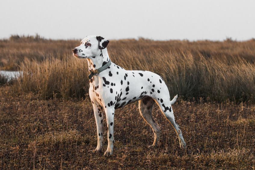 Ein Dalmatiner steht auf einer Wiese