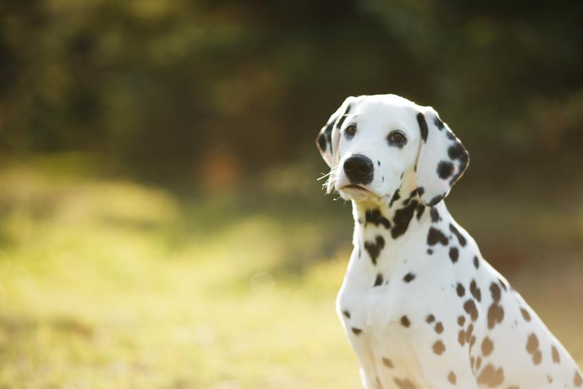 Ein junger Dalmatiner sitzt im Feld