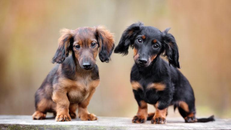 dackel hunde