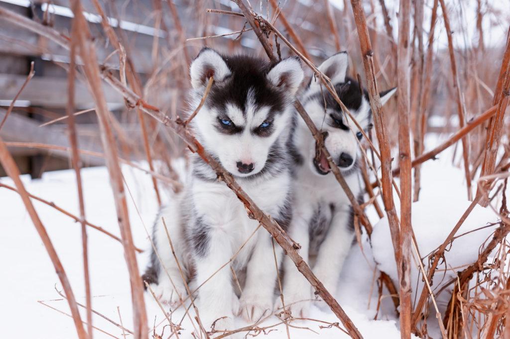 Zwei Siberian Husky Welpen