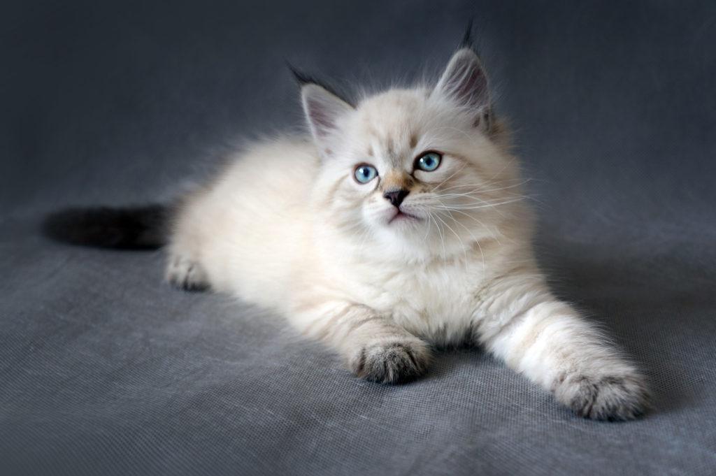 Eine Sibirische Katze im Kittenalter