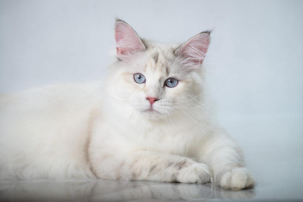 Eine Sibirische Katze mit weißem Fell