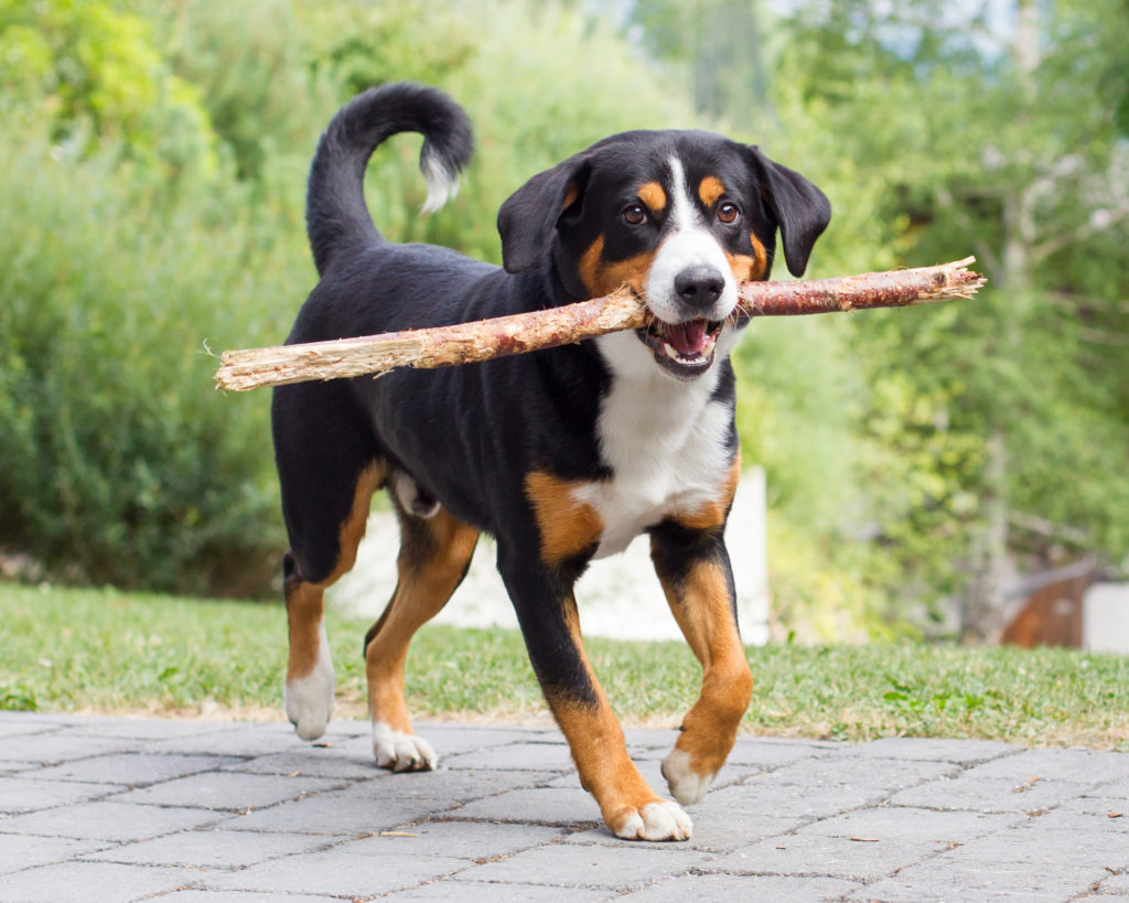 Entlebucher Sennenhund Hunderassen Zooplus Ch