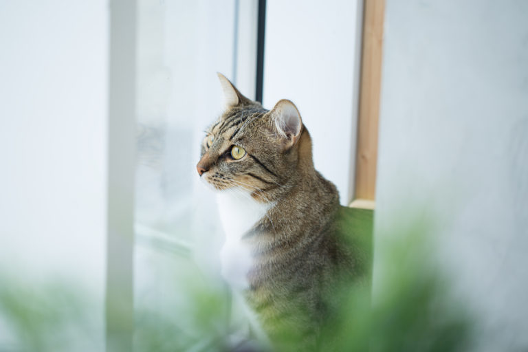 Katze hinter Katzenminze
