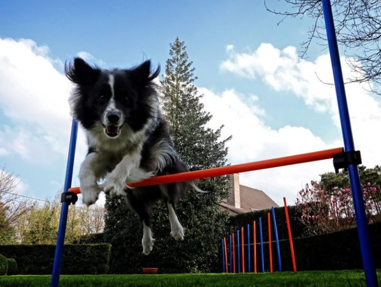 Hund springt über eine Agility Hürde