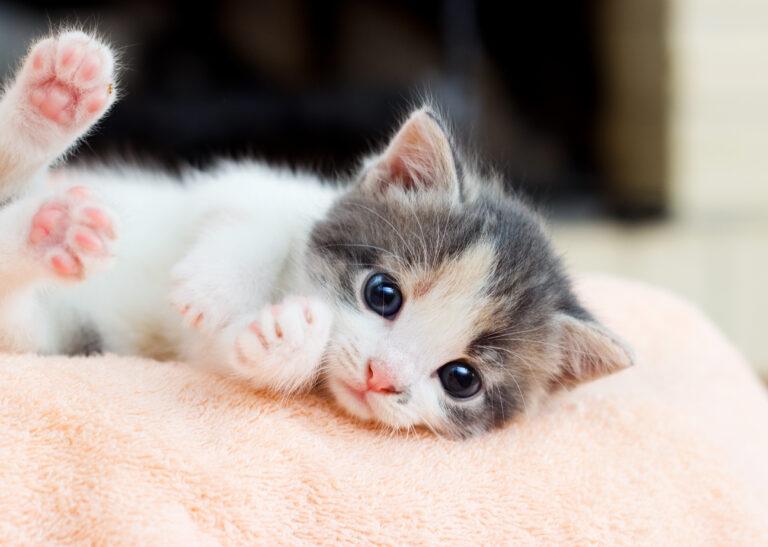 weiss graues kitten liegt auf einer kuscheldecke