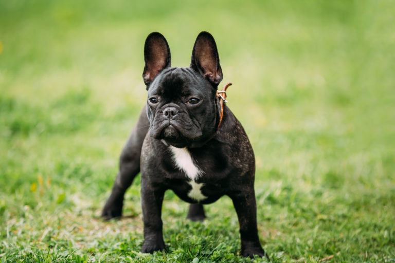 Schwarze Französische Bulldogge auf Rasen
