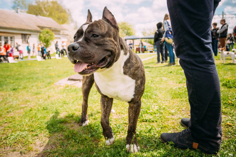 American Staffordshire Terrier in der Hundeschule