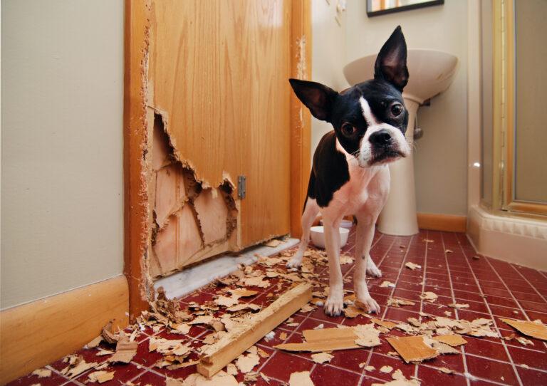 Boston Terrier vor einer zerstörten Holztür