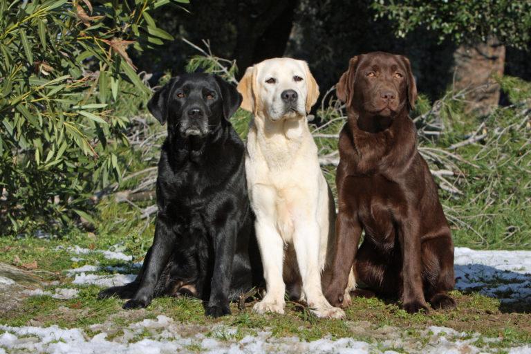 Labrador Retriever schwarz, gelb, braun