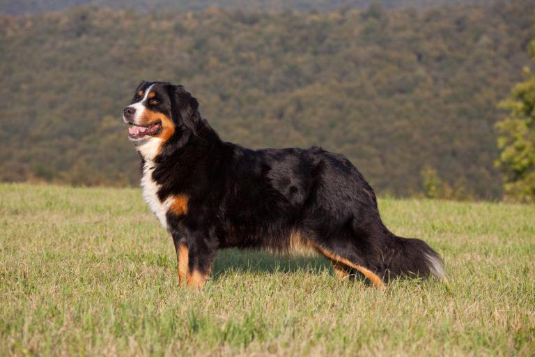 Berner Sennenhund auf einer Wiese