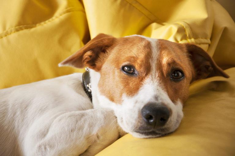 Hund liegt auf gelber Couch