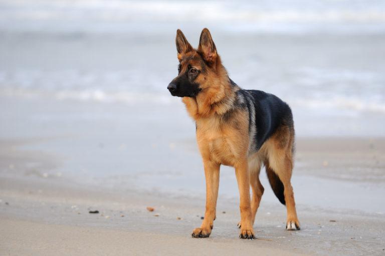 Schæferhund på stranden