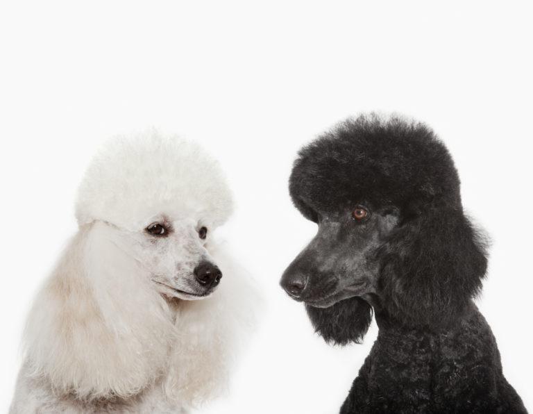 Schwarzer und weisser Pudel schauen sich an