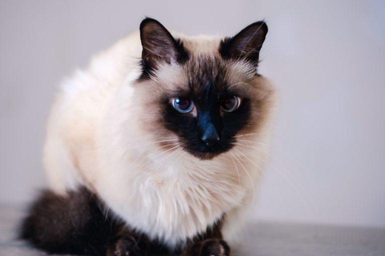 Portrait Balinese Katze