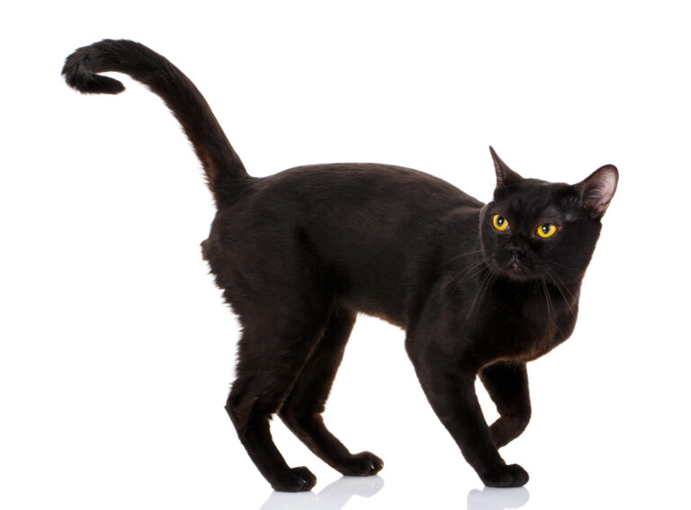 Bombay Katze vor weissem Hintergrund