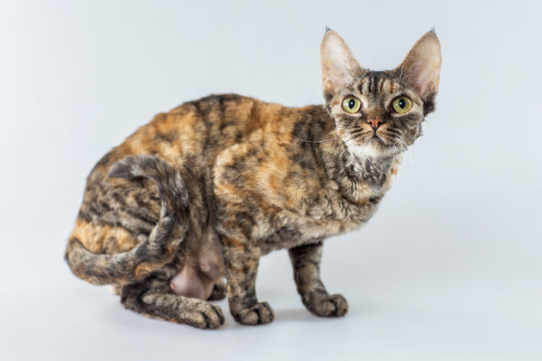 junges Cornish Rex Kätzchen