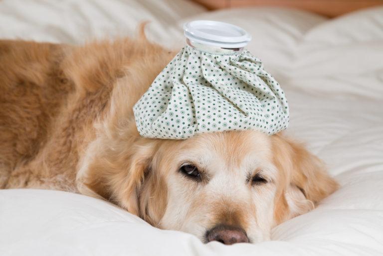 Hund mit Eisbeutel auf Kopf