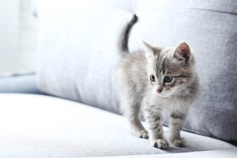 graues kitten auf grauer couch