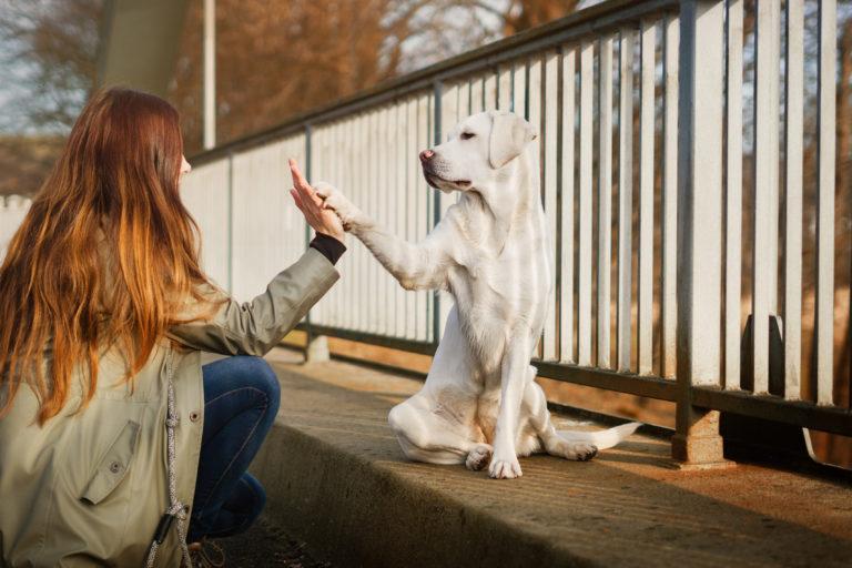 weisser labrador retriever gibt high five