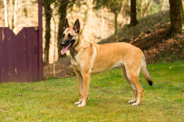 Belgischer Schäferhund steht im Gras