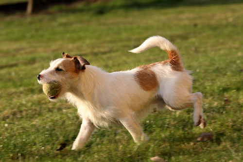Jack Russell Parson Terrier mit Ball im Maul
