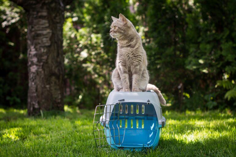 Graue Katze auf einer offenen Katzentransportbox