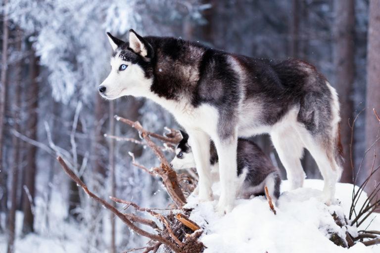 sibirischer husky mit welpe