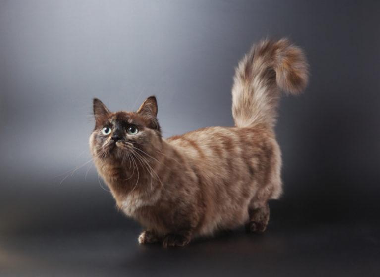 Braune Munchkin Katze