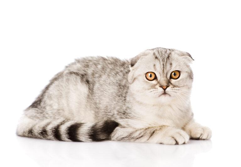 Graue Scottish Fold Katze liegt seitlich zur Kamera und schaut direkt hinein, weisser Hintergrund