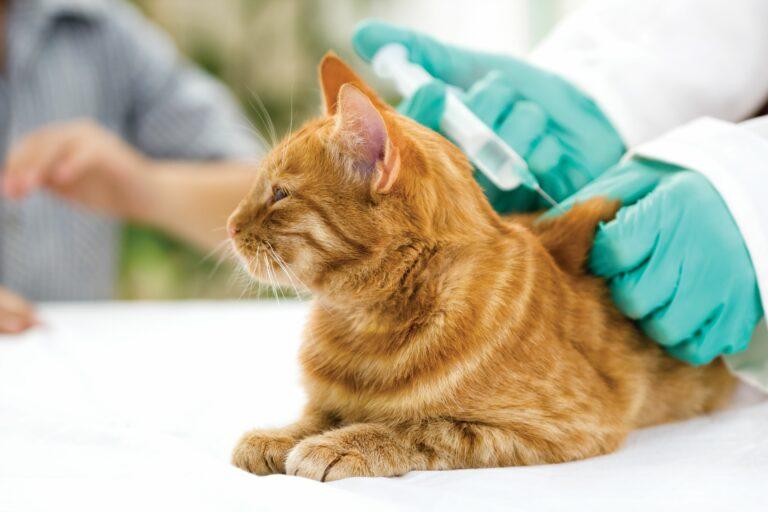 Tierarzt mit grünen Handschuhen gibt einer rot getigerten Katze eine Impfung, während diese auf weissem Untergrund liegt