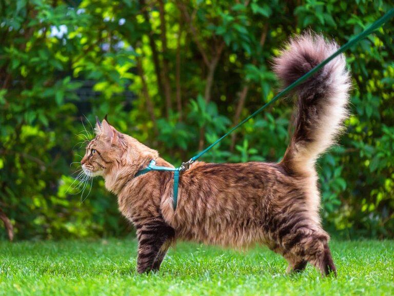 Maine Coon mit Katzengeschirr und Leine im Garten