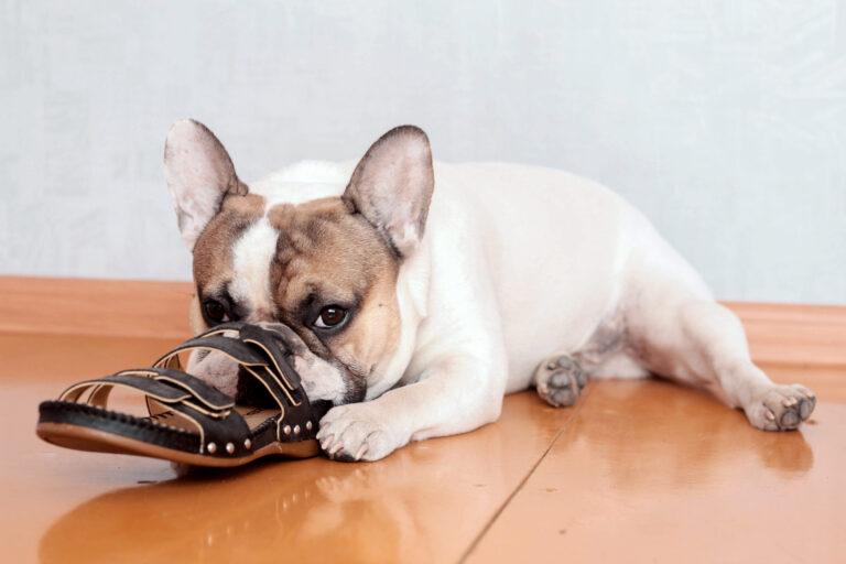 Französische Bulldogge knabbert an Schuhen