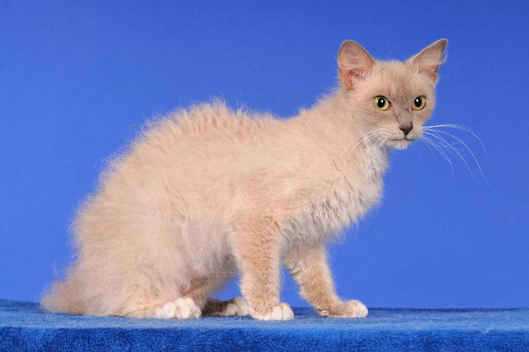 LaPerm katze sitzend auf blauem hintergrund