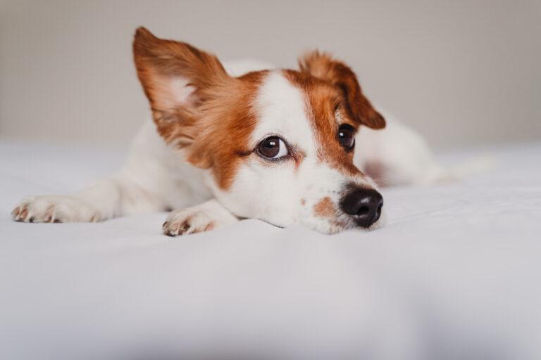 Jack Russell liegt auf einem Bett und hört aufmerksam zu