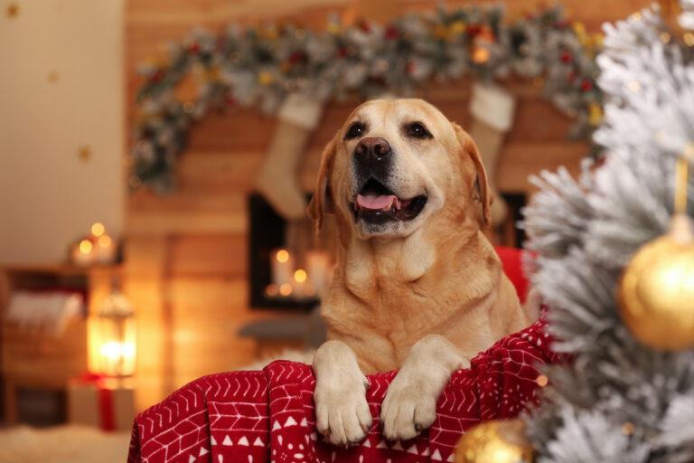 Golden Retriever in weihnachtlichem Wohnzimmer