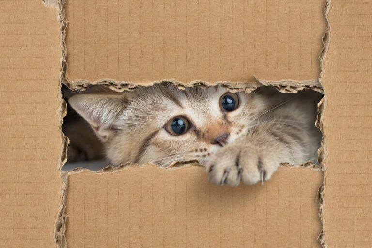 Kitten schaut durch einen Schlitz im Karton
