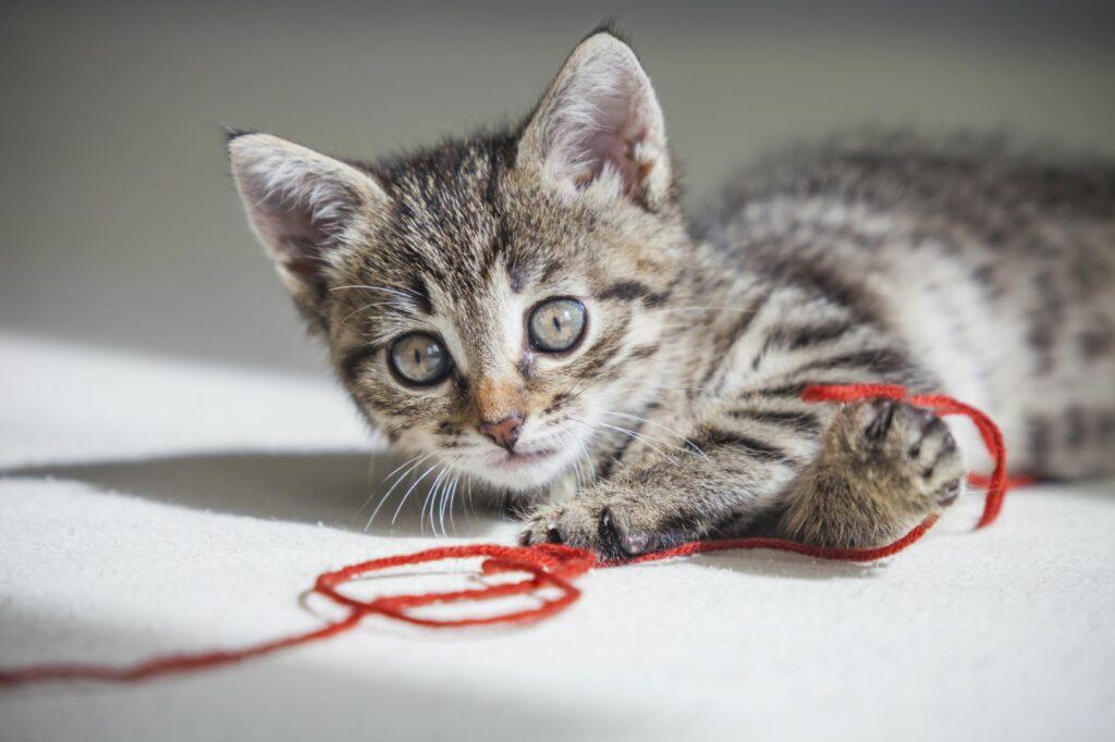 Ein Kätzchen spielt mit rotem Faden