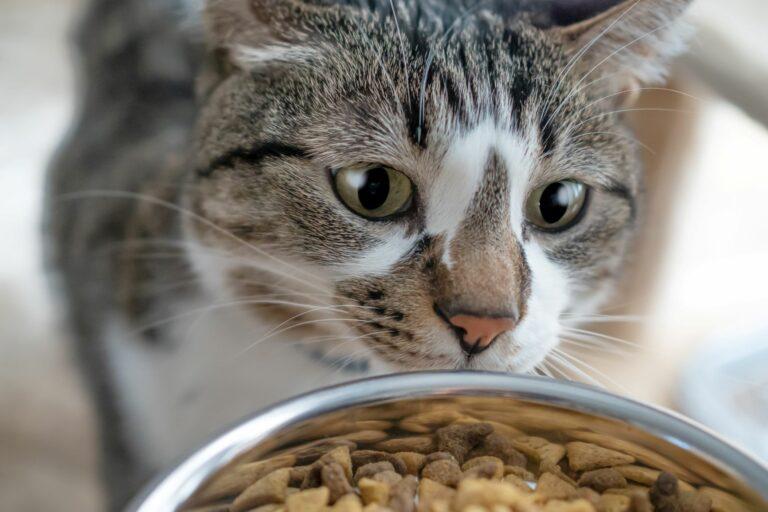 Katze schaut in ihren Fressnapf