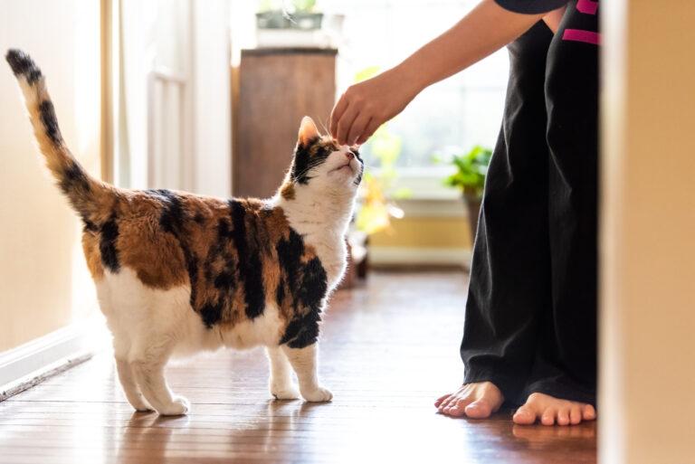Katze wird mit einem Leckerli belohnt